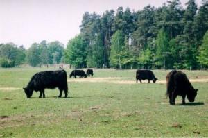 Galloway-Herde